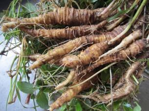 アイヌの伝統的食材「つる人参の根」をソースのベースに使いました