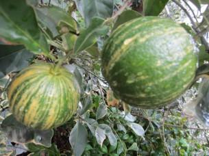 珍しい「縞橙(シマダイダイ)」です