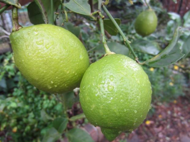 有機無農薬で栽培しているレモンです。お湯で煮出すだけでも美味しいですよ!