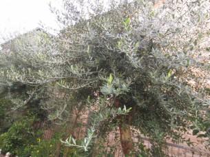 オリーブの木々も、たくましく成長しています