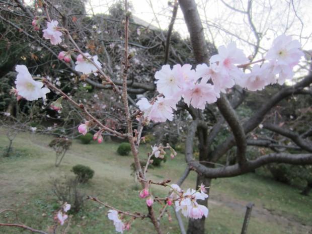 寒さに耐えて、可憐な花を咲かせている「じゅうがつさくら」が見頃です