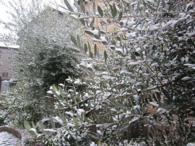 船橋にも久々の大雪が降り「コグレオリーブ農園」のオリーブやレモンの木々も、すっかり雪化粧の風景色です