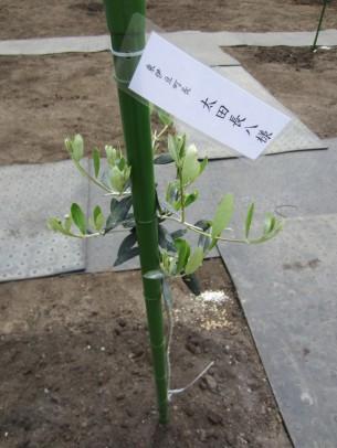 0稲取植樹祭11